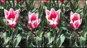 Выставка тюльпанов в Никитском ботаническом саду в 3Д / 3D Горизонтальная анаморфная